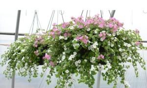 Ампельные растения для вертикального озеленения