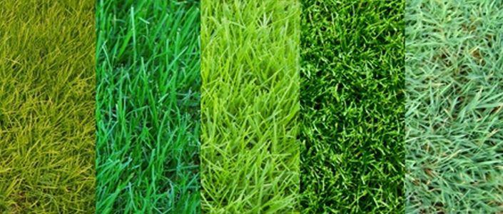 Газон — сорта трав и характеристики