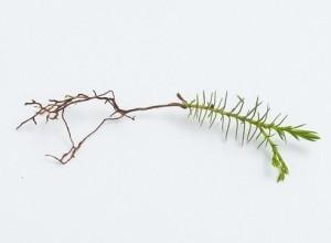 Выращиваем тую из семян