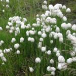 Купить семена, растение – Пушица узколистная, Пухонос (Eriophorum angustifolium), Пушица многоколосковая (Eriophorum polystachyon)
