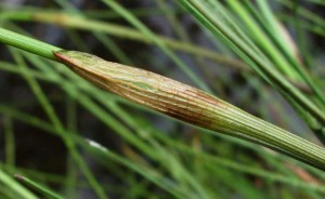 Купить семена, растение – Пушица влагалищная (Eriophorum vaginatum)