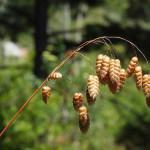 Купить семена, растение – Бриза, Трясунка большая, Кукушкины слезки, Богородицыны слезы (Briza maxima)