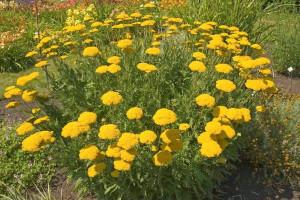 Купить семена, растение – Тысячелистник таволговый золотой, Порезная трава, Ахиллея (Achillea)
