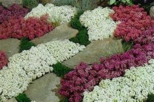 Купить семена, растение – Арабис Снежный ковер, Арабис альпийский, Резуха альпийская, Арабис белый (Arabis alpina)