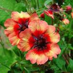 Купить семена, растение – Лапчатка непальская Rose&Red (Potentilla nepalensis)