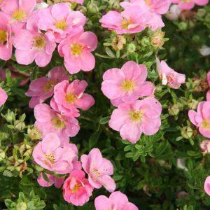 "Лапчатка ""Rose"" (Potentilla)"