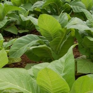 Купить семена, растение – Табак курительный Вирджиния 202 (Nicotiana), Табак курительный