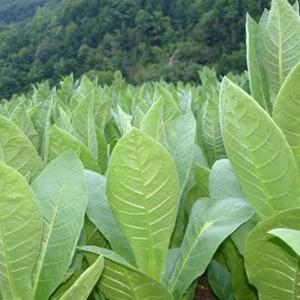 Купить семена, растение – Табак курительный Юбилейный новый 142 (Nicotiana), Табак курительный