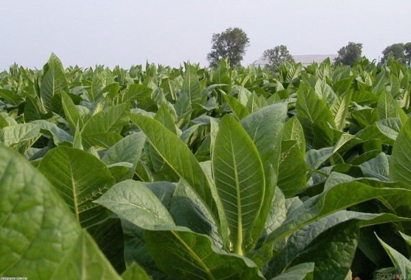 Купить семена, растение – Табак курительный Трапезоид 92 (Nicotiana), Табак курительный
