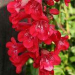 Купить семена, растение – Пенстемон Гартвега красный (Penstemon hartwegii)