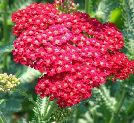 Купить семена, растение – Тысячелистник красный, Порезная трава, Ахиллея (Achillea)