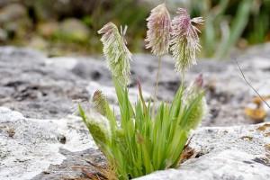 Купить семена, растение – Ламаркия золотистая (Lamarckia aurea, Cynosurus aureus, Chrysurus aureus)