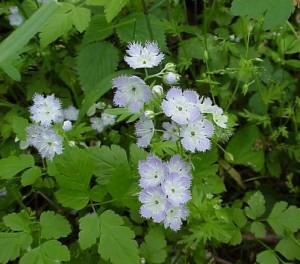 Купить семена, растение – Фацелия низкорослая Пурша (Phacelia purshii)