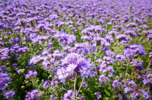 Купить семена, растение – Фацелия пижмолистная, Фацелия рябинколистная, фиолетовая пижма (Phacelia tanacetifolia)