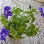 Купить семена, растение – Броваллия красивая темно-синяя (Browallia speciosa)