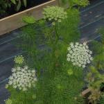 Купить семена, растение – Амми зубная, или Виснага (Ammi visnaga)