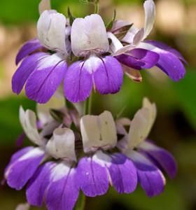 Купить семена, растение – Коллинсия двухцветковая, или Коллинсия разнолистная, Коллинзия (Collinsia heterophylla)