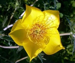 Купить семена, растение – Бартония золотистая, или ментцелия Линдлея (Bartonia aurea, Mentzelia lindleyi)