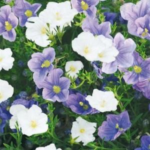 Купить семена, растение – Нирембергия смесь (Nierembergia), Нирембергия голубая (Nierembergia hippomanica Miers), Нирембергия прутьевидная (Nierembergia scoparia)