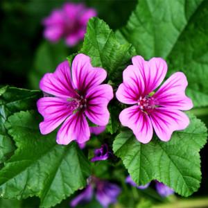Купить семена, растение – Мальва мутовчатая, просвирник мутовчатый, мальва курчавая, шток-роза, калачик (Malva verticillata)