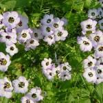 Купить семена, растение – Гилия трехцветная (Gilia tricolor)
