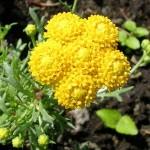 Купить семена, растение – Лонас однолетняя (Lonas annua), Лонас цветок