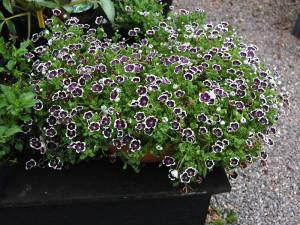 Купить семена, растение – Немофила дисковидная Ночка (Nemophila discoidalis), Немофила черная