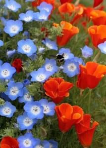 Купить семена, растение – Немофила менциса Синеглазка (Nemophila menziesii), Немофила голубая