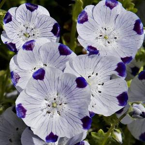 Купить семена, растение – Немофила пятнистая Капли росы (Nemophila maculata), Немофила пятнистая