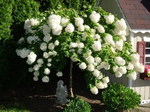Создаем штамбовое дерево из Гортензии