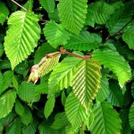 Купить семена, растение – Граб обыкновенный, или Граб европейский, Граб кавказский (Carpinus betulus)
