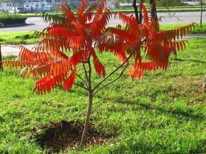 Дерево айлант как вырастить