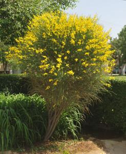 Купить семена, растение – Испанский дрок, Метельник ситниковый, Метельник прутьевидный (Spartium junceum)