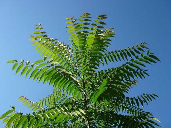 Купить семена, растение – Айлант высочайший (Ailanthus altissima), китайский ясень, китайская бузина, уксусное дерево, вонючка, чумак, рай-дерево, божье дерево. Дерево небес,Tree of Heaven