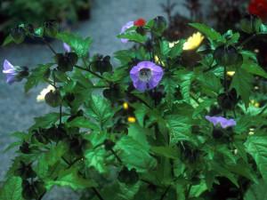 Купить семена, растение – Никандра физалисовидная, Никандра, Nicandra physaloides