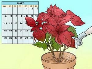 Пуансеттия - Рождественская звезда в доме