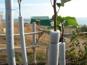 Зимний сад: защита древесных пород от грызунов