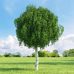 Купить семена, растение – Берёза Повислая, или бородавчатая (Betula pendula, Betula verrucosa)