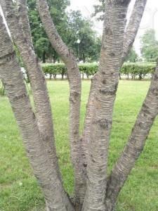 Купить семена, растение – Береза вишневая, или Береза тягучая, Береза сладкая (Betula lenta)