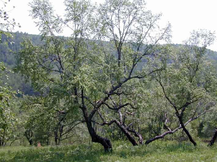 Купить семена, растение – Береза даурская, Береза черная дальневосточная (Betula dahurica)