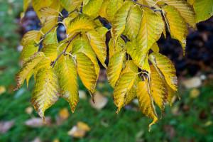 Купить семена, растение – Береза граболистная (Betula grossa)