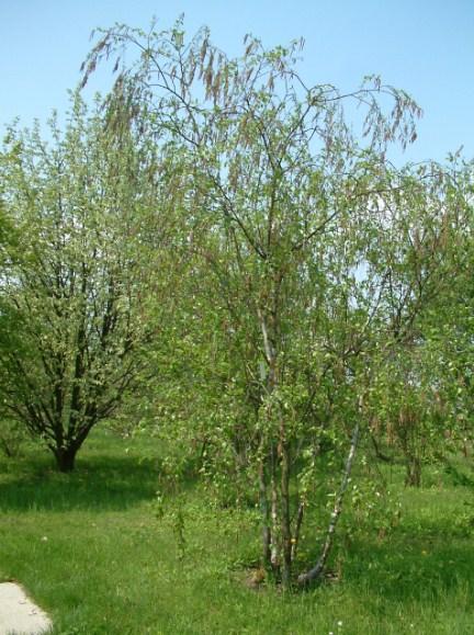 Купить семена, растение – Береза Радде (Betula raddeana)