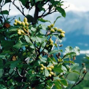 Купить семена, растение – Ольха горная, или Ольха зеленая (Alnus alnobetula, Alnus viridis)