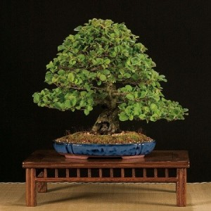 Купить семена, растение – Ольха черная, или Ольха клейкая, Ольха европейская (Alnus glutinosa)