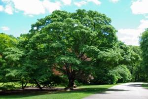 Купить семена, растение –Клен Моно, Клен мелколистный (Acer mono)
