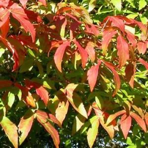 Купить семена, растение – Клен трёхцветковый (Acer triflorum)