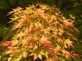 Купить семена, растение – Клен веерный Санго-Каку - подвид palmatum, или Клен дланевидный (Acer palmatum subsp. palmatum, Acer palmatum Sango-kaku)
