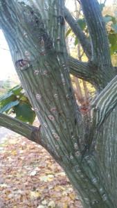 Купить семена, растение – Клен змеекорый (Acer capillipes)