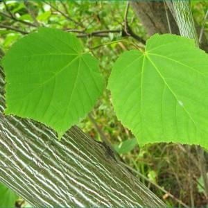 Купить семена, растение – Клен зеленокорый (Acer tegmentosum)