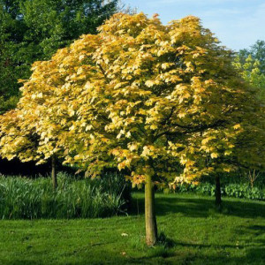 Купить семена, растение – Клен ложноплатановый Леопольди (Acer pseudoplatanus Leopoldii)